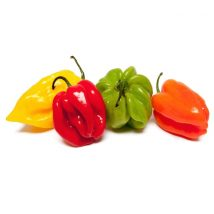 Piment Habanero rouge/orange: chaud devant...