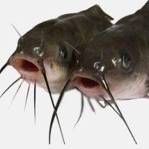 Poisson-chat africain : l'incontournable du pèpè soup...